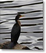 Double-crested Cormorant 20121101_128 Metal Print