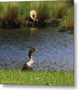 Double-crested Cormorant 3 Metal Print