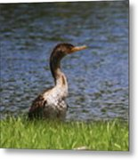 Double-crested Cormorant 4 Metal Print