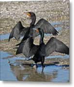 Double Crested Cormorant Pair Metal Print