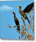 Double-crested Cormorants Metal Print
