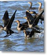 Double Crested Cormorants Metal Print
