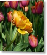 Double Petal Yellow Tulip Metal Print