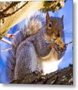 Douglas Squirrel Eating Metal Print