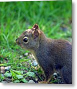 Douglas Squirrel  Metal Print