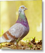 Dove  Standing Close Up Metal Print