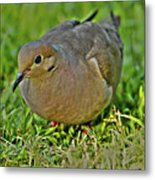 Dove With Hdr Metal Print