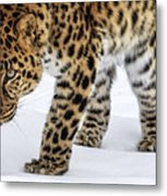 Down Low And Stealthy D4788 Metal Print