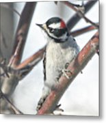 Downy Woodpecker In An Apple Tree Metal Print