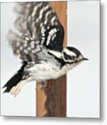 Downy Woodpecker In Flight Metal Print