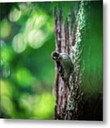 Downy Woodpecker In The Wild Metal Print