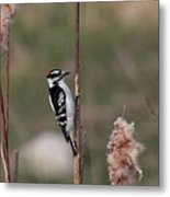 Downy Woodpecker On Cattails Metal Print