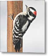 Downy Woodpecker On The Deck Post Metal Print