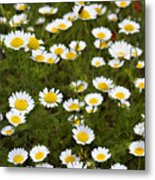 Dozens Of Daisies Metal Print