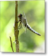 Dragonfly Slow Dance Metal Print