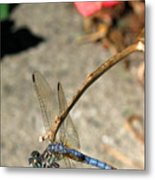 Dragonfly Black-tailed Skimmer Metal Print