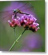 Dragonfly On Purple Verbena Metal Print