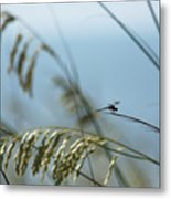 Dragonfly On Sea Oats Metal Print by Robert  Suits Jr