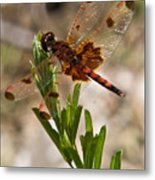 Dragonfly Resting 2 Metal Print