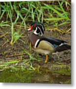 Drake Wood Duck Metal Print