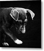 Dramatic Black And White Puppy Dog Metal Print