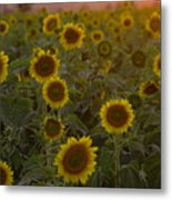 Dreaming In Sunflowers Metal Print