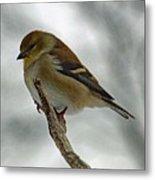Dreaming Of Spring - American Goldfinch Metal Print