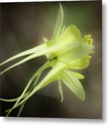 Dreamy Yellow Columbine Metal Print