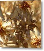 Dried Safflower Metal Print