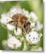 Drinking Up The Nectar, Apis Mellifera Metal Print