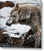 Drinking Wolf Metal Print