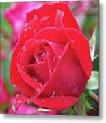 Dripping In Beauty - Double Knock Out Rose Metal Print