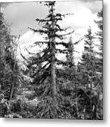 Dry Spruce Metal Print