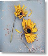 Dry Sunflowers On Blue Metal Print