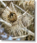 Dry Thistle Buds Metal Print