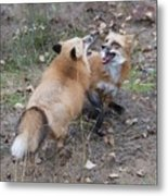 Dualing Red Foxes Metal Print