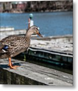 Duck About To Jump. Metal Print