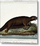 Duck-billed Platypus Ornithorhynchus Metal Print