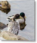 Duck, Duck Metal Print