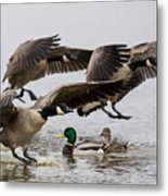 Duck Ducks Metal Print