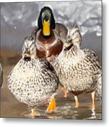 Duck - Id 16235-220255-9105 Metal Print