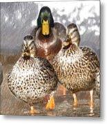 Duck - Id 16235-220402-2840 Metal Print