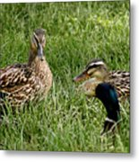 Duck Meeting At Frankenmuth Metal Print