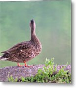 Duck Ponders Metal Print