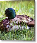 Duck Portrait Metal Print