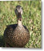 Duck Stare Metal Print