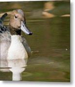 Duck Swimming, Front Portrait. Metal Print