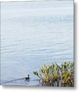 Duck Swimming In Lake Metal Print