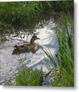 Duck Swimming In Stream Metal Print