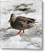 Duck Walking On Thin Ice Metal Print